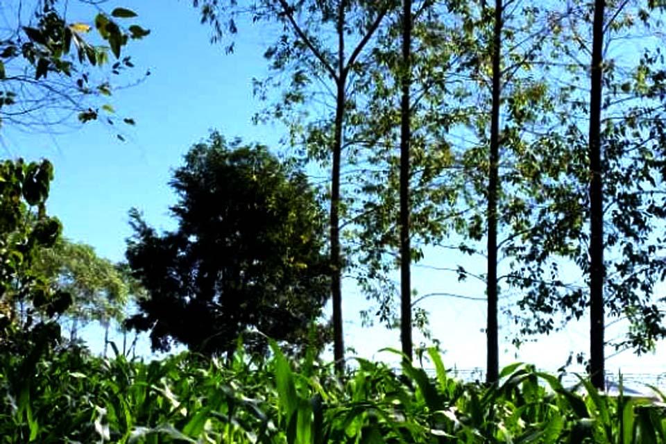 Projeto Florestas Plantadas será atração na Rondônia Rural Show