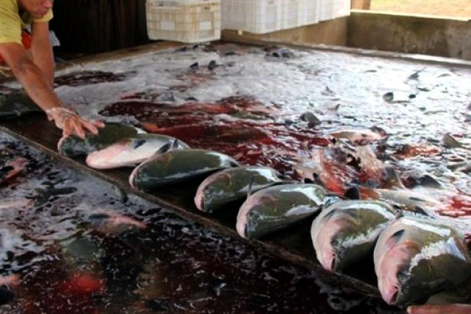Ao tentar esvaziar denúncias sobre pescado sem procedência, Associação de Criadores de Peixe está trocando as bolas e alimentando confusão
